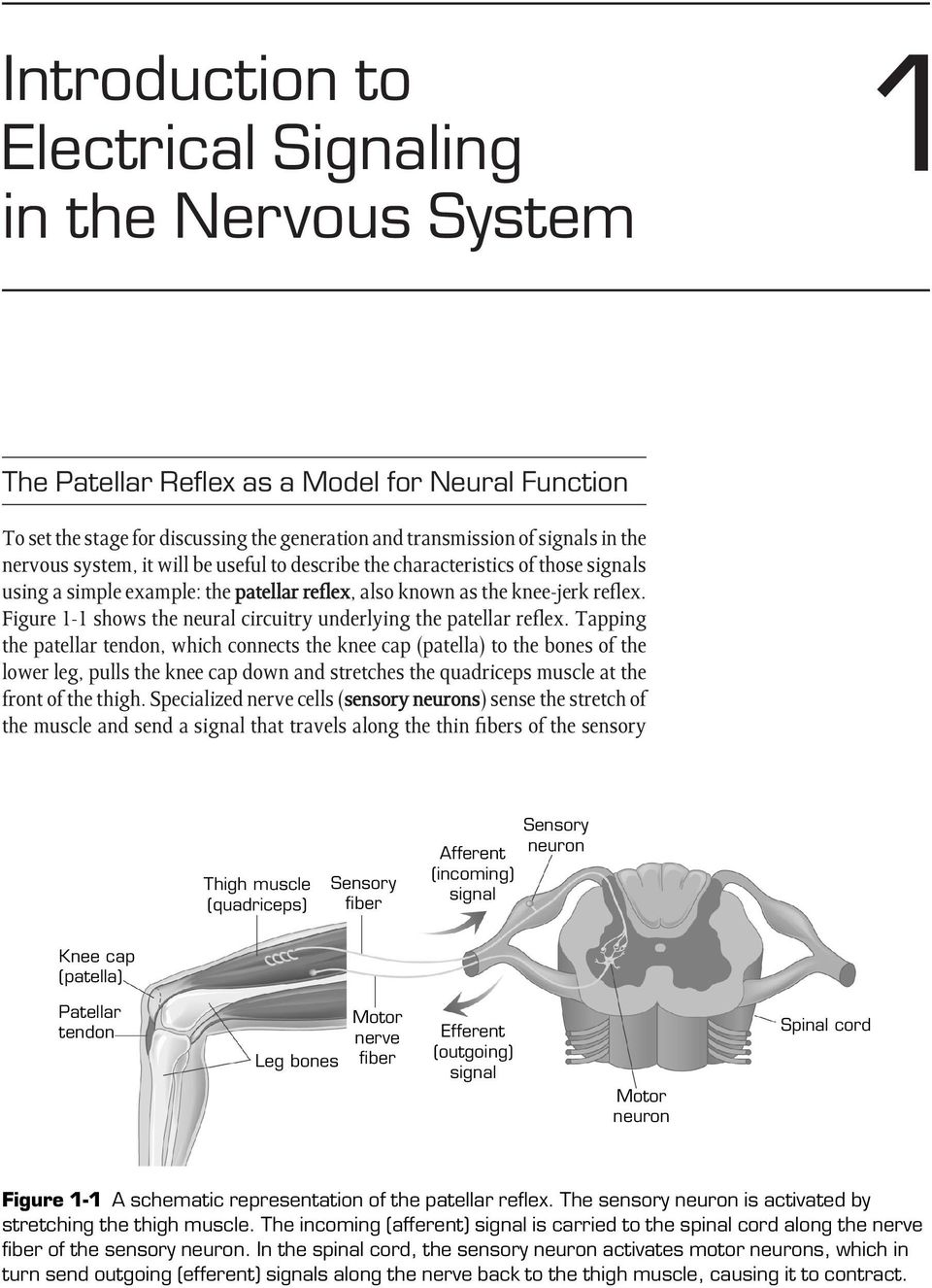 Figure 1-1 shows the neural circuitry underlying the patellar reflex.
