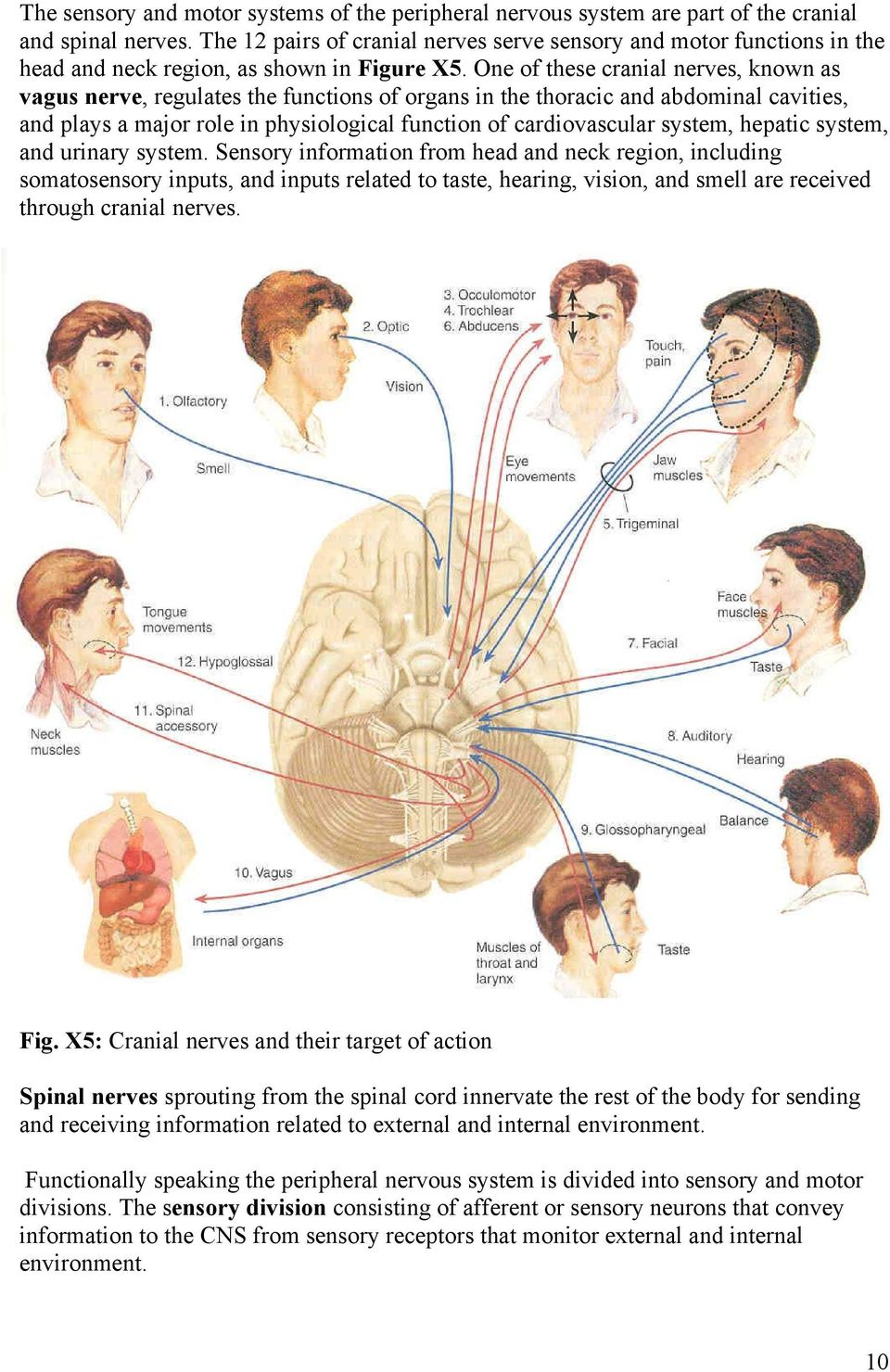 One of these cranial nerves, known as vagus nerve, regulates the functions of organs in the thoracic and abdominal cavities, and plays a major role in physiological function of cardiovascular system,