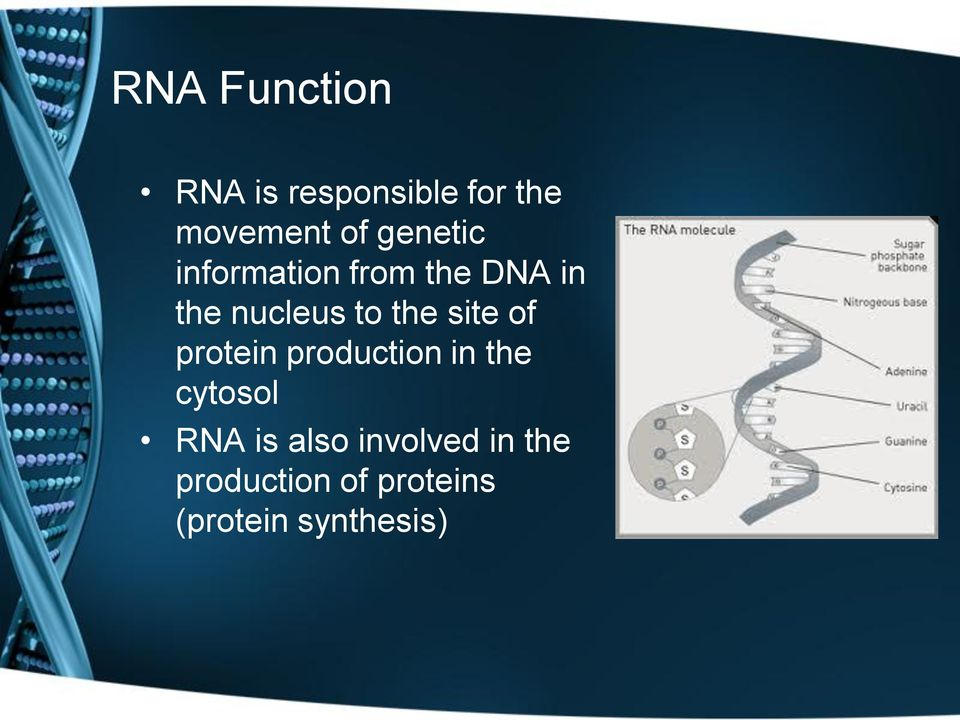 site of protein production in the cytosol RNA is also