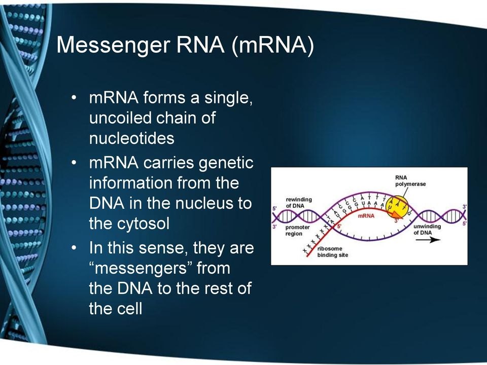 from the DNA in the nucleus to the cytosol In this