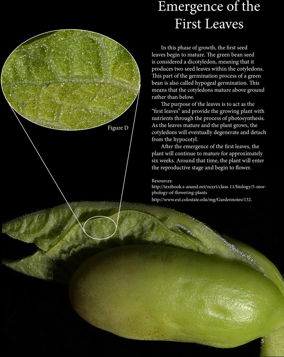 This part of the germination process of a green bean is also called hypogeal germination. This means that the cotyledons mature above ground rather than below.