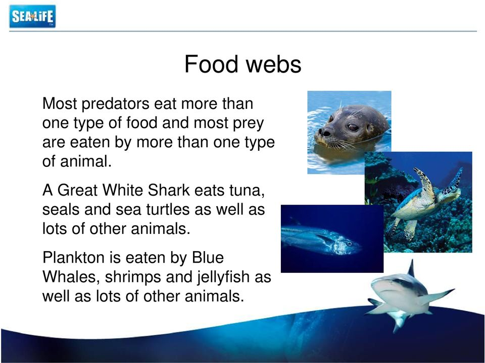 A Great White Shark eats tuna, seals and sea turtles as well as lots of