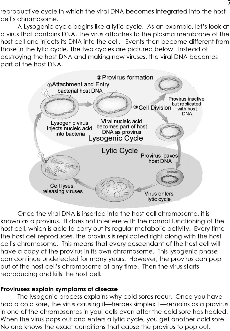 Instead of destroying the host DNA and making new viruses, the viral DNA becomes part of the host DNA. 5 Once the viral DNA is inserted into the host cell chromosome, it is known as a provirus.