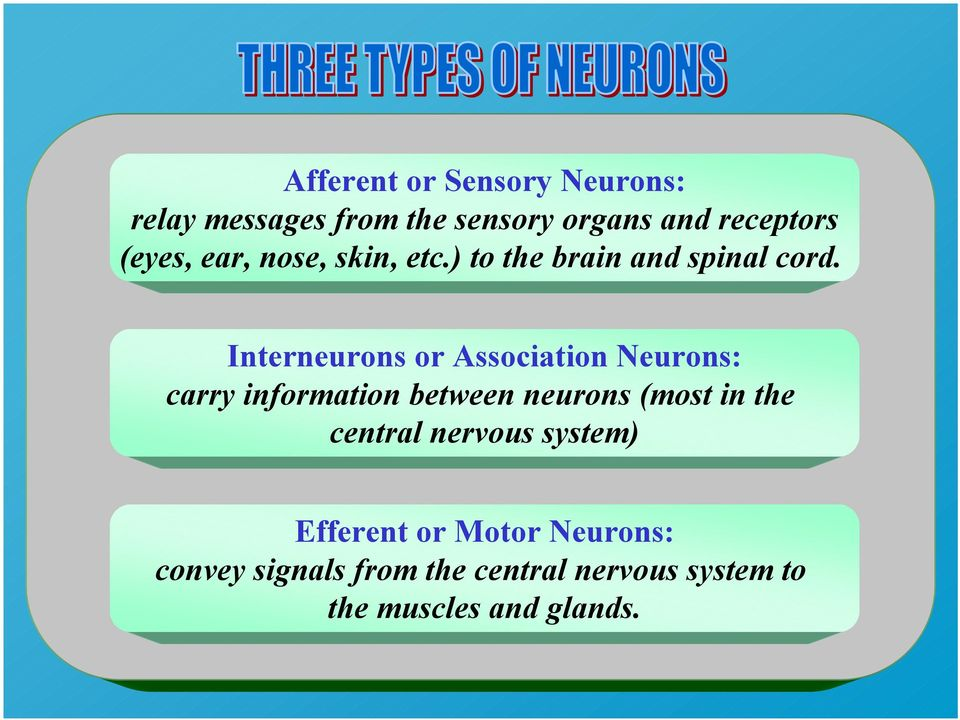 Interneurons or Association Neurons: carry information between neurons (most in the