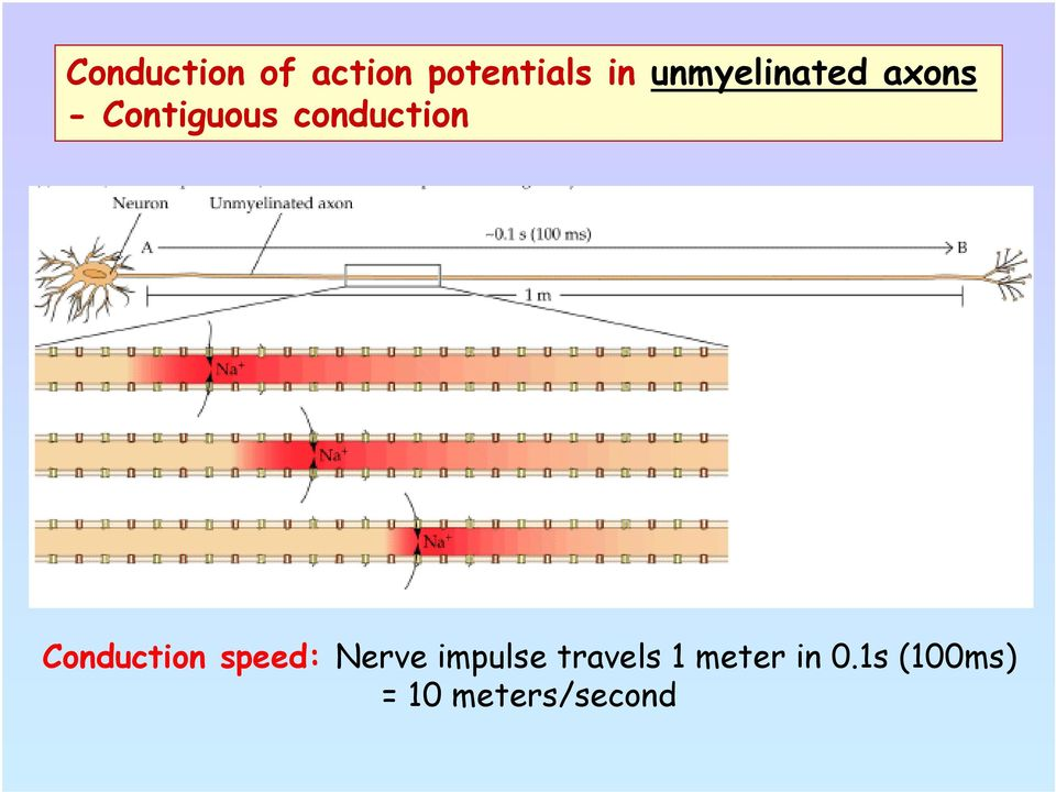 conduction Conduction speed: Nerve