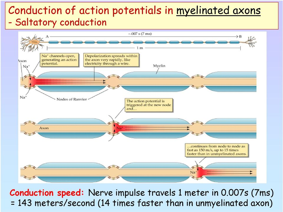 Nerve impulse travels 1 meter in 0.