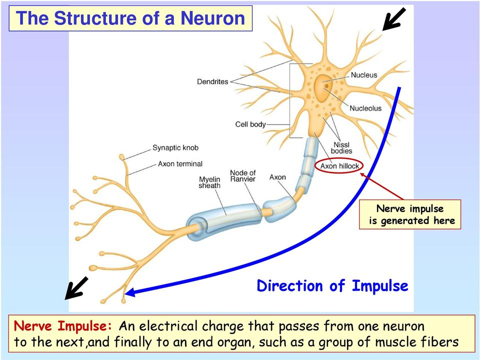 electrical charge that passes from one neuron to the