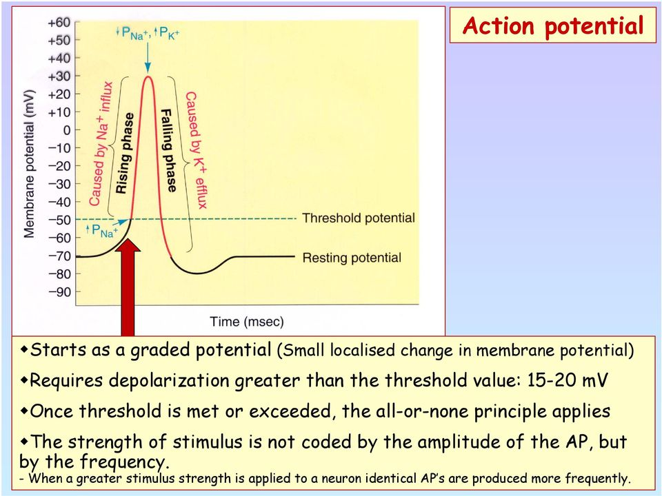 all-or-none principle applies The strength of stimulus is not coded by the amplitude of the AP, but by