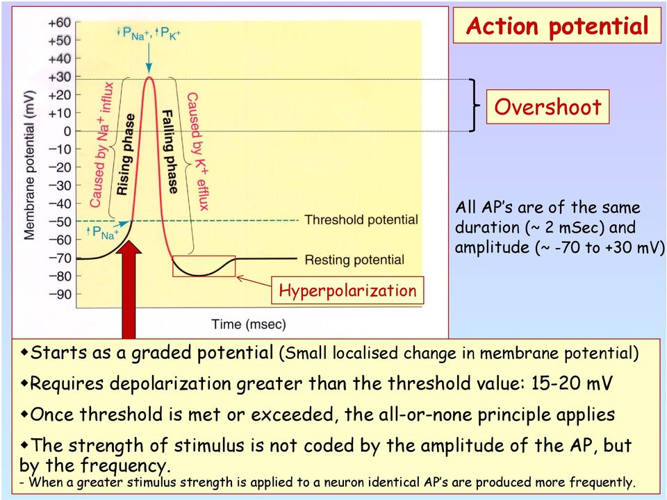 15-20 mv Once threshold is met or exceeded, the all-or-none principle applies The strength of stimulus is not coded by the