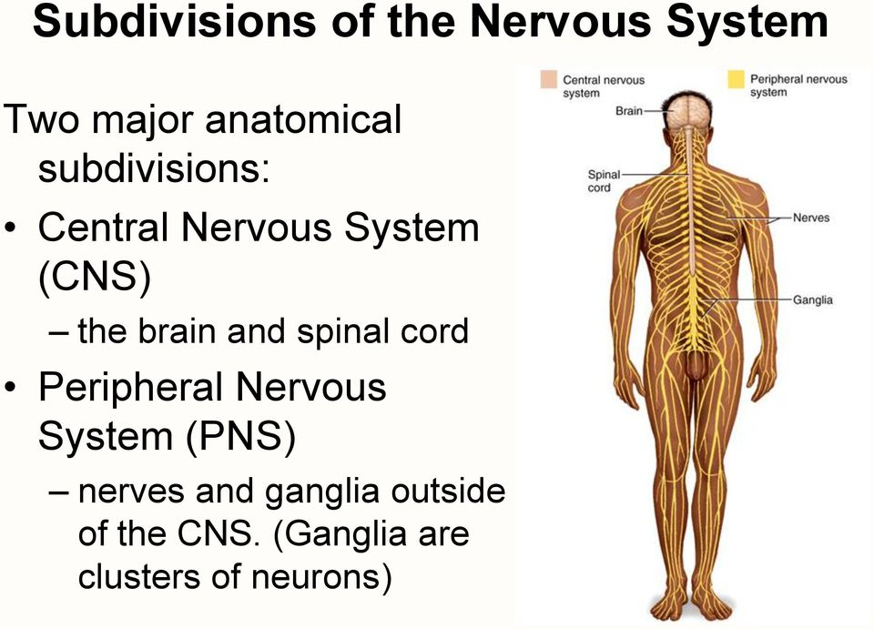 spinal cord Peripheral Nervous System (PNS) nerves and
