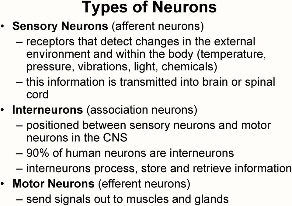 Interneurons (association neurons) positioned between sensory neurons and motor neurons in the CNS 90% of human neurons are