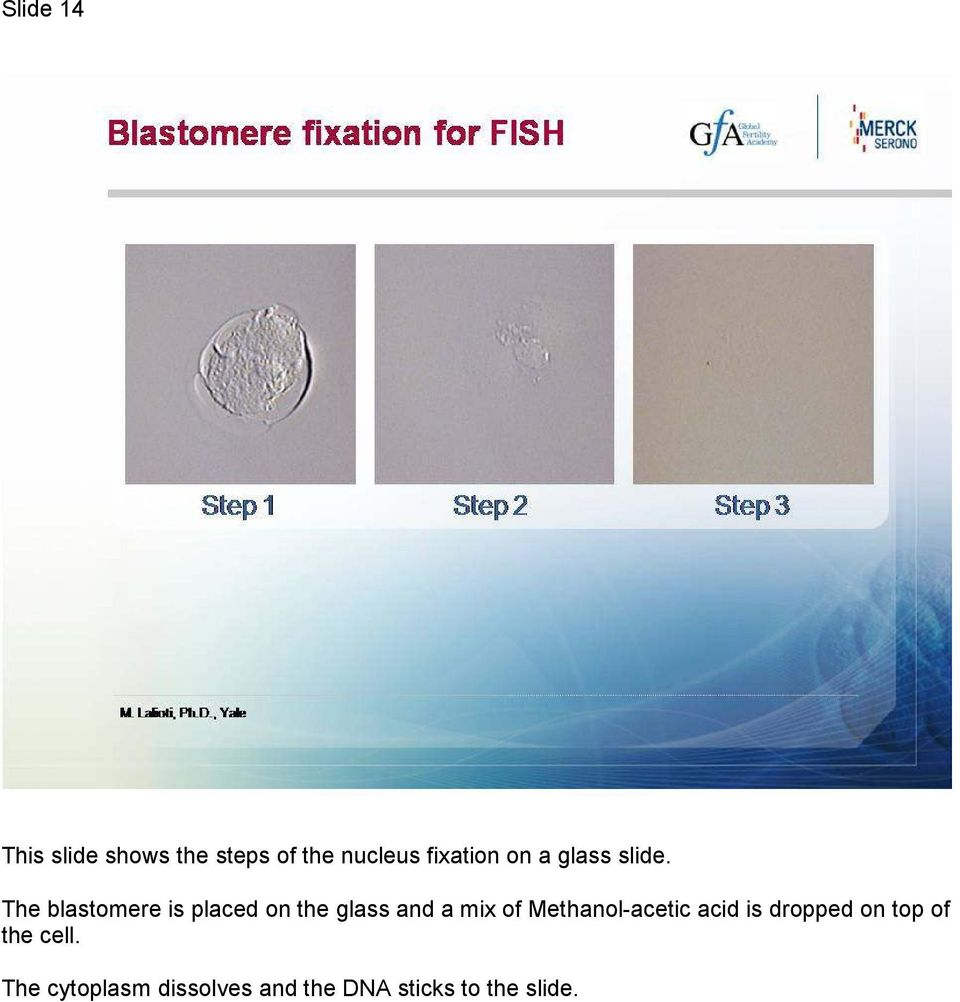 The blastomere is placed on the glass and a mix of