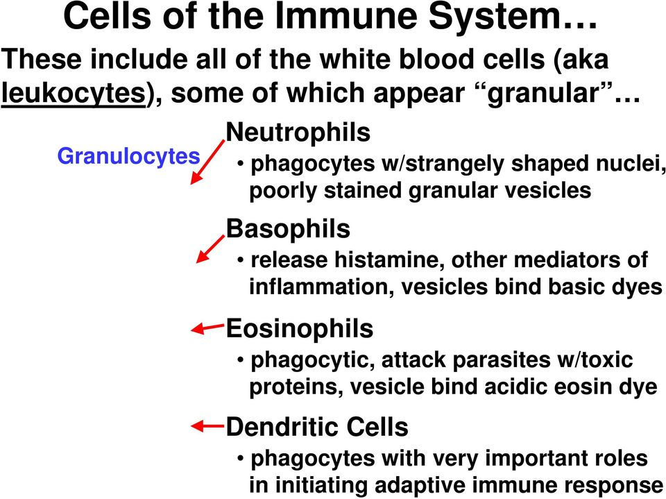 histamine, other mediators of inflammation, vesicles bind basic dyes Eosinophils phagocytic, attack parasites w/toxic