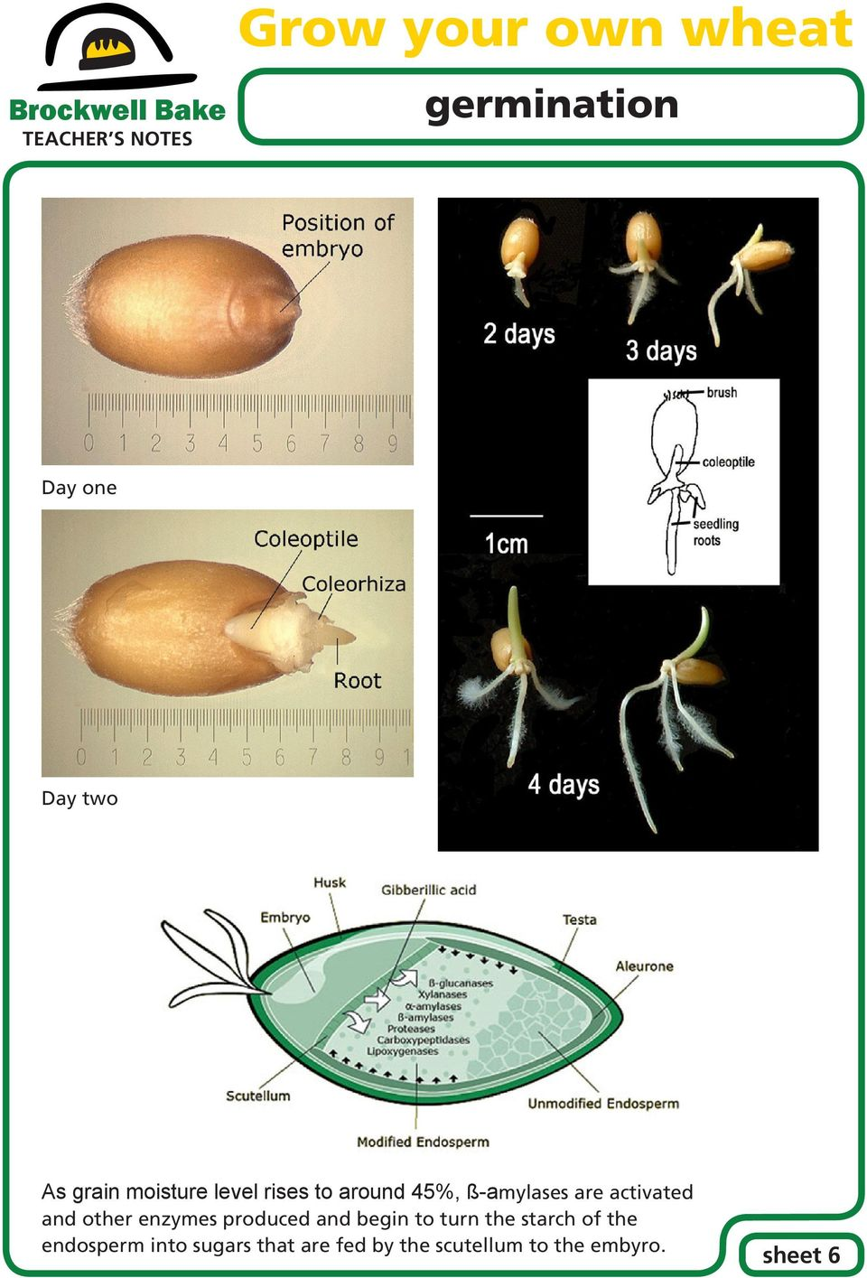 produced and begin to turn the starch of the endosperm