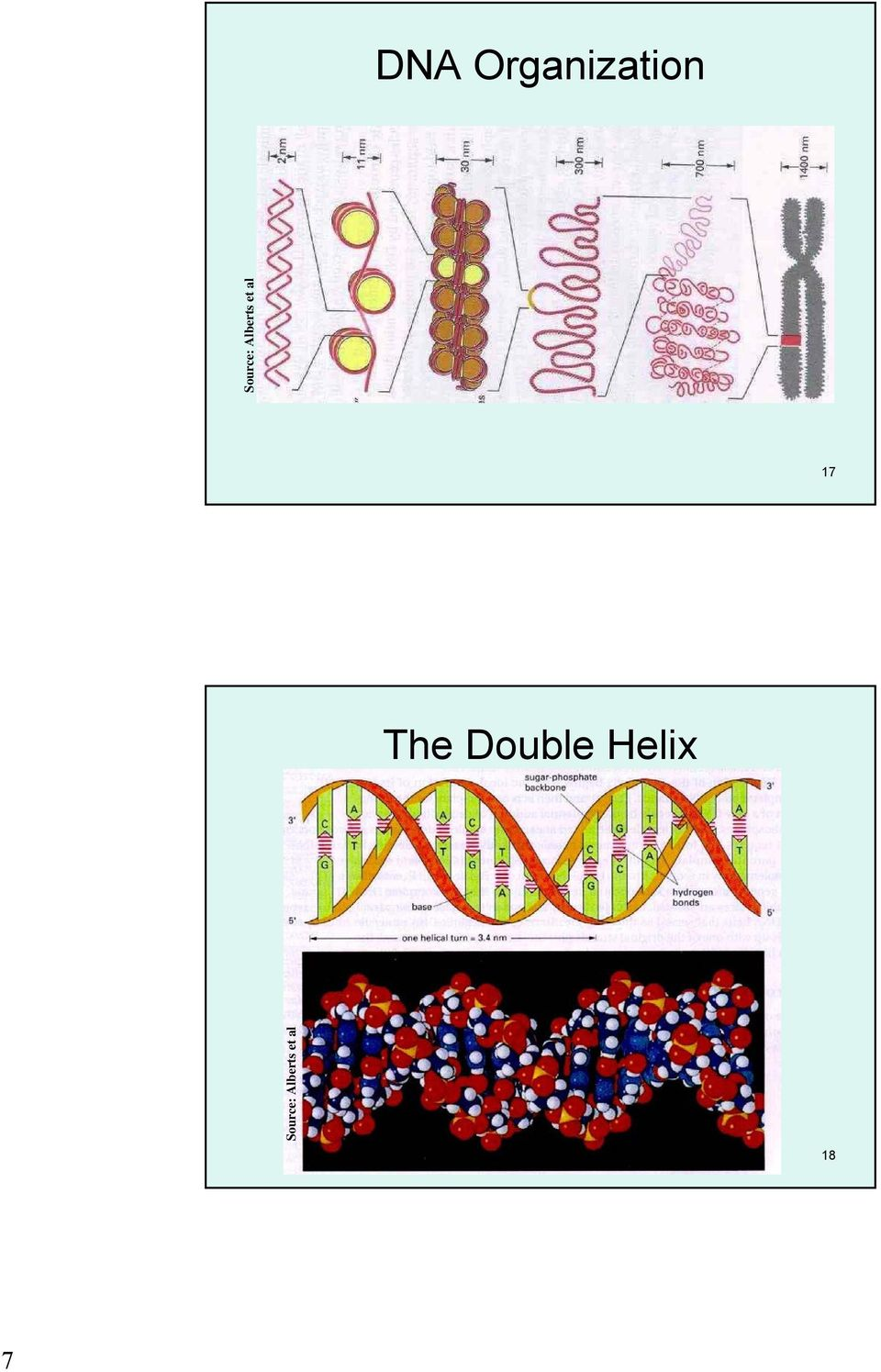 17 The Double Helix