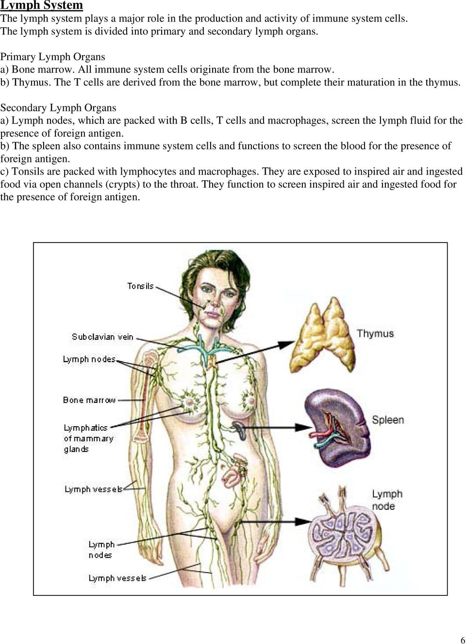Secondary Lymph Organs a) Lymph nodes, which are packed with B cells, T cells and macrophages, screen the lymph fluid for the presence of foreign antigen.