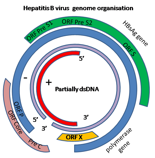 RT Domain of HBV pol gene ( YMDD mutation ) RT mutations in HBV, secondary to use of NRTIs such as lamivudine, may be associated with diagnostic