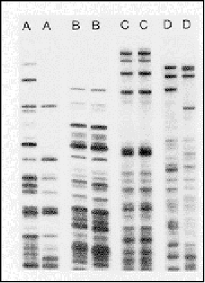 Section H: Sample Gels 1. The diagram shows DNA fingerprints from a daughter horse, the mother horse, and four possible fathers. Which horse is most likely the father? 2. Who committed the crime?