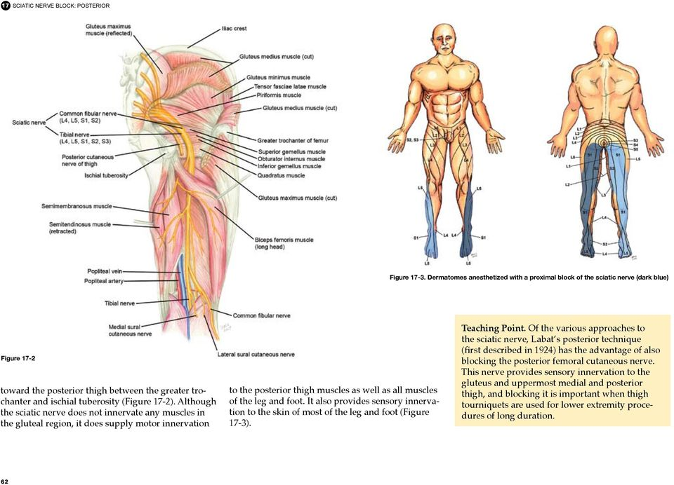 Although the sciatic nerve does not innervate any muscles in the gluteal region, it does supply motor innervation to the posterior thigh muscles as well as all muscles of the leg and foot.