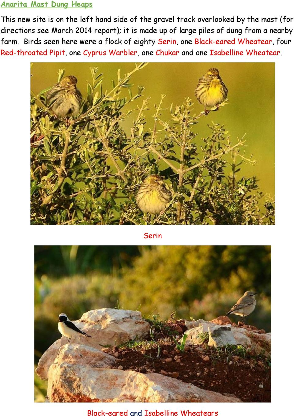 Birds seen here were a flock of eighty Serin, one Black-eared Wheatear, four Red-throated Pipit, one