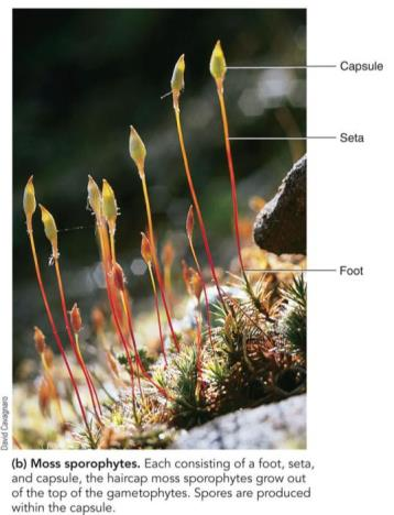 Bryophytes Nonvascular (lack xylem and phloem) unlike other land plants Dominant gametophyte generation unlike other plants Sporophytes remain permanently attached