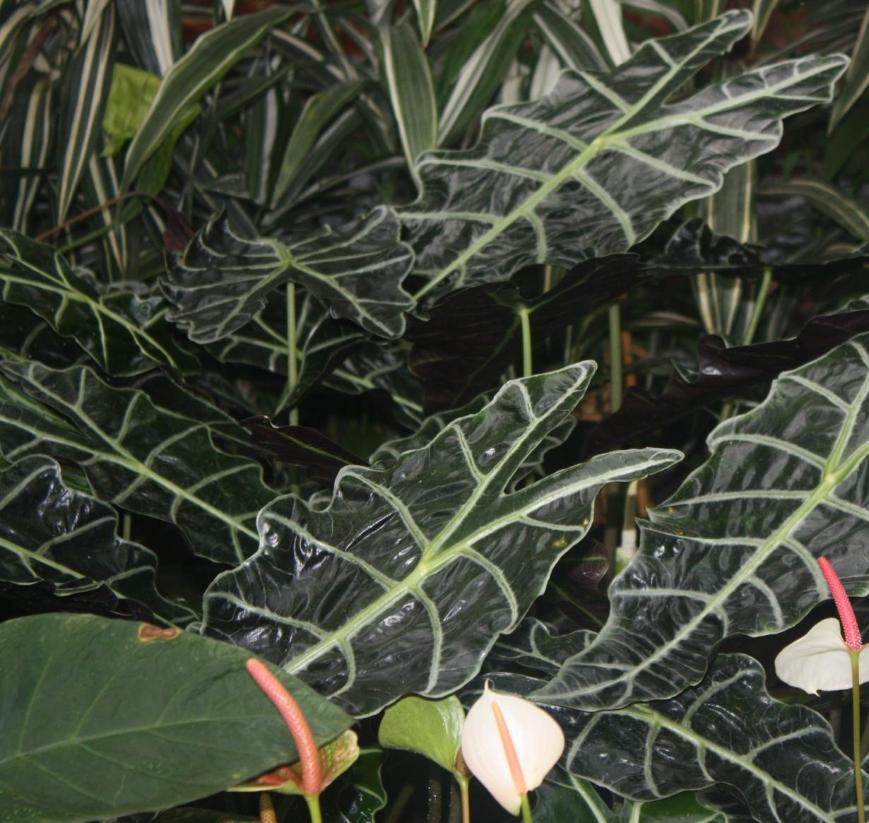 Alocasia x amazonica Waxy drip-tip leaves allow excess rainwater to run-off Jagged Leaf Shape and Veins allow excess rainwater to