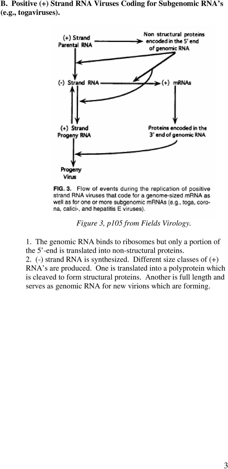 (-) strand RNA is synthesized. Different size classes of (+) RNA s are produced.