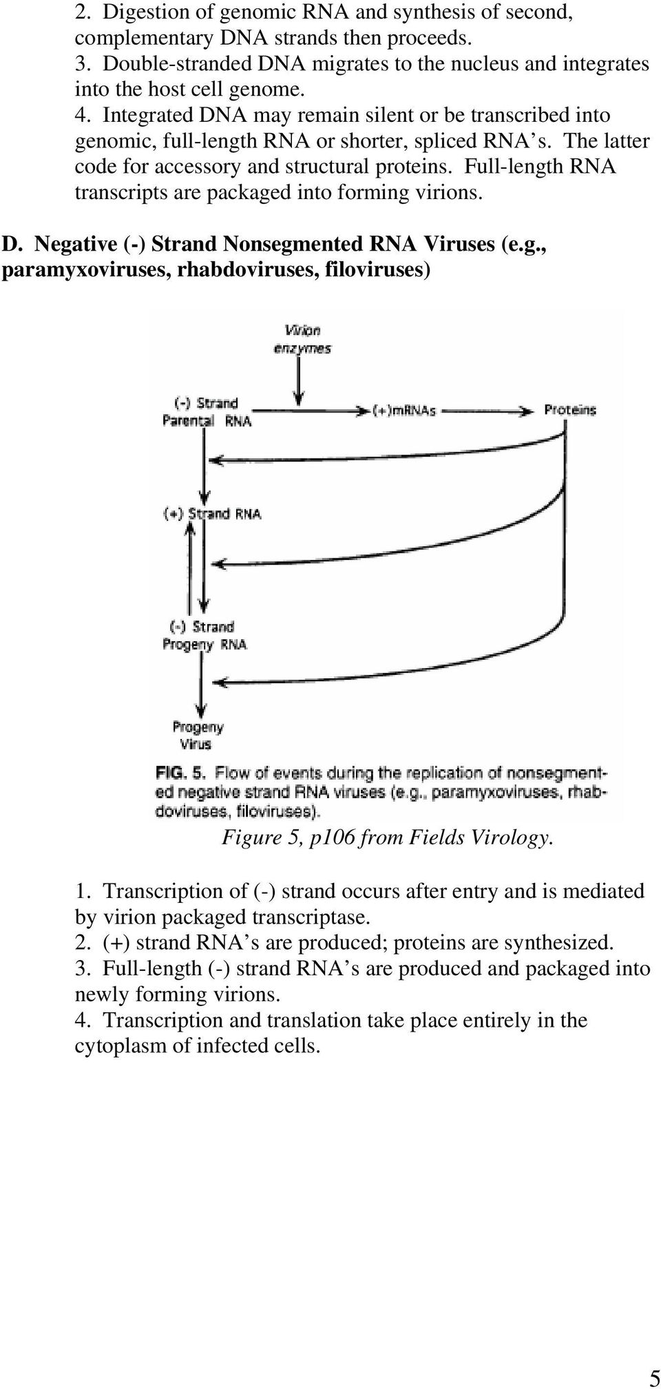 Full-length RNA transcripts are packaged into forming virions. D. Negative (-) Strand Nonsegmented RNA Viruses (e.g., paramyxoviruses, rhabdoviruses, filoviruses) Figure 5, p106 from Fields Virology.