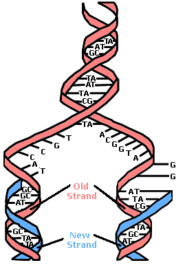 DNA and Genetics 1. Which of the following correctly organizes genetic material from the broadest category to the most specific category? A. genome chromosome gene DNA molecule B.
