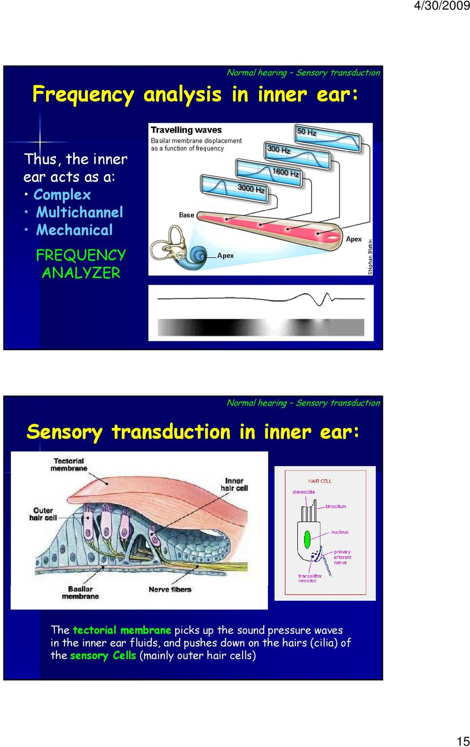 transduction in inner ear: The tectorial membrane picks up the sound pressure waves in the inner