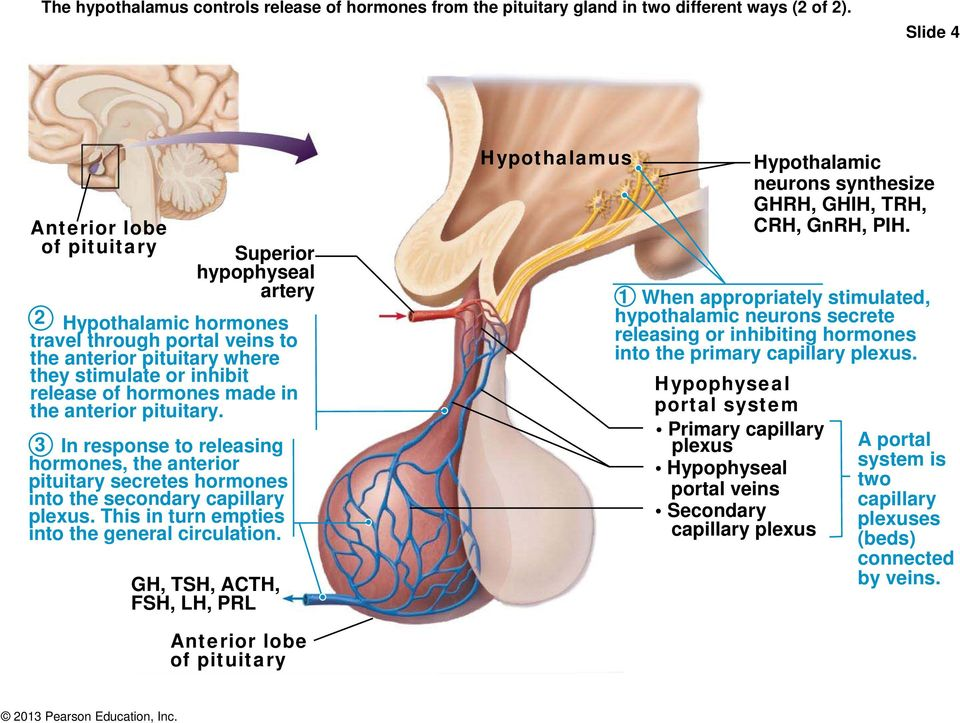 C16.2 Endocrine. Pituitary Gland Hypothalamic-hypophyseal Tract ...