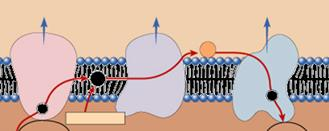 membrane along cristae transport proteins & enzymes transport of electrons down