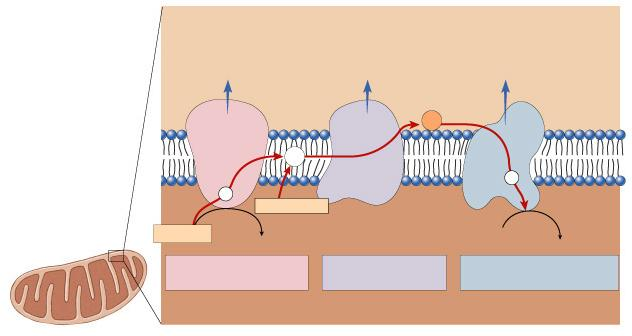 transport proteins in membrane pump (protons) across inner membrane to intermembrane space TA-DA!! Moving electrons do the work!