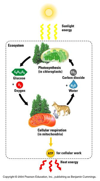 Abiotic Factors that the community interacts with Energy it is needed by organisms to do the processes to keep alive Forms: light, chemical, heat Type of energy used by living things: Chemical