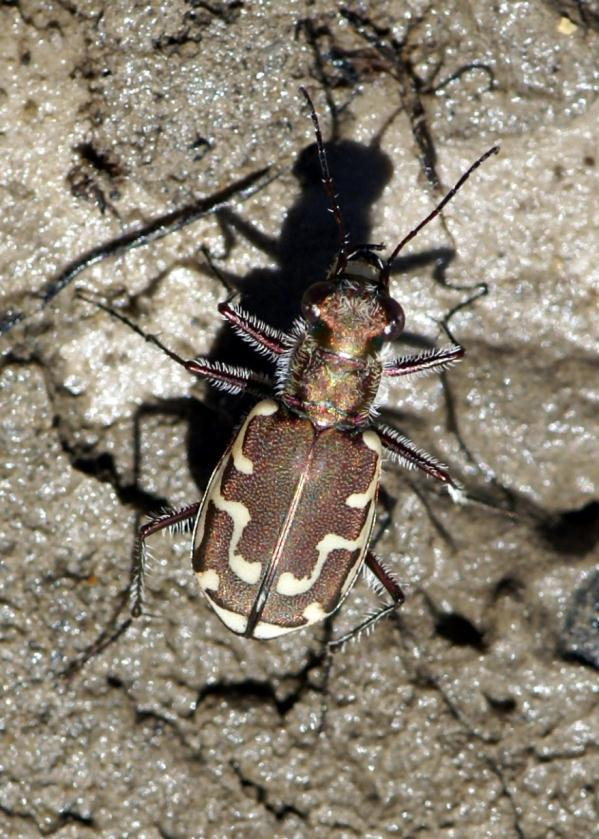 Tiger Beetle Active during hot sunny days Good vision Fast moving and fly well 7 11 mm in size Wetland