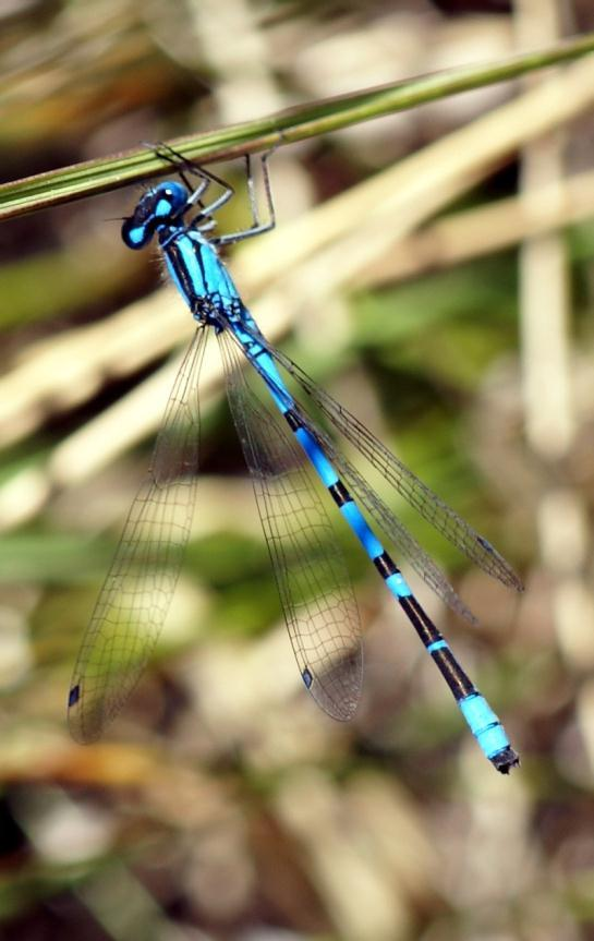 Boreal Bluet Wide variety of wetlands 33-35 mm in size Wetland types
