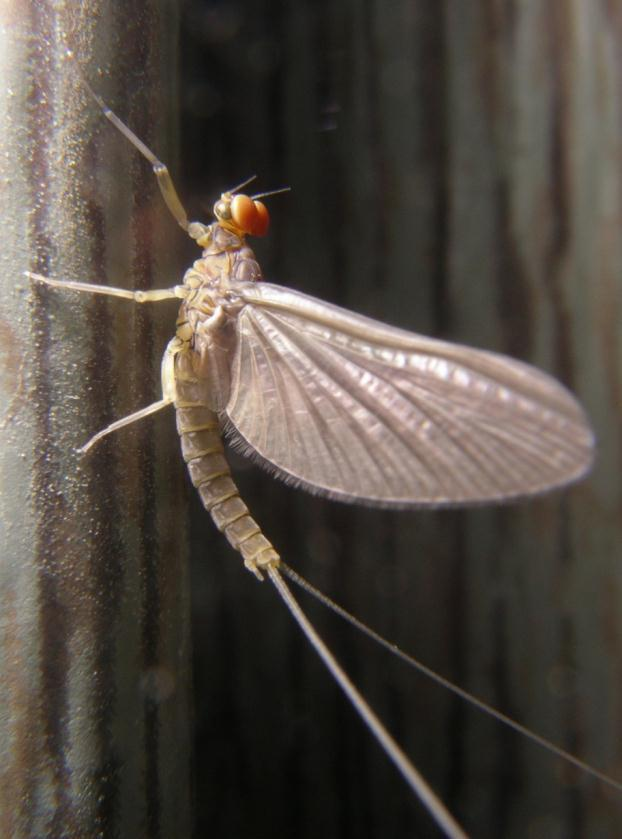 Mayfly Short lived Up to 18 mm in size Wetland types they live in: