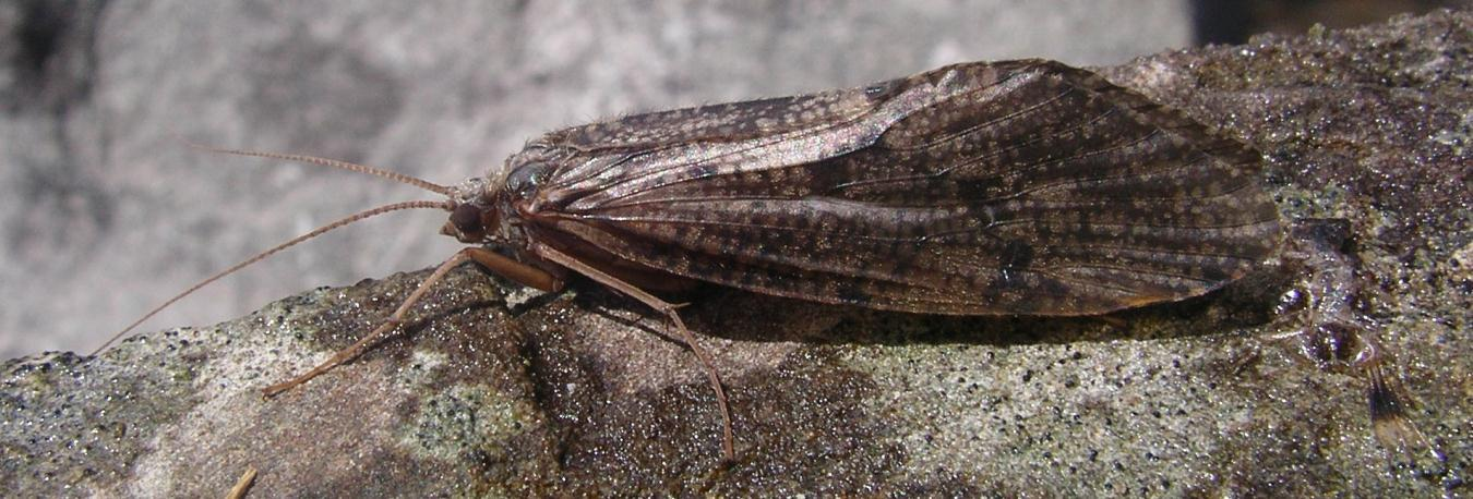 Adult Caddisfly Nocturnal strongly attracted to light Up to 25 mm in size Brown