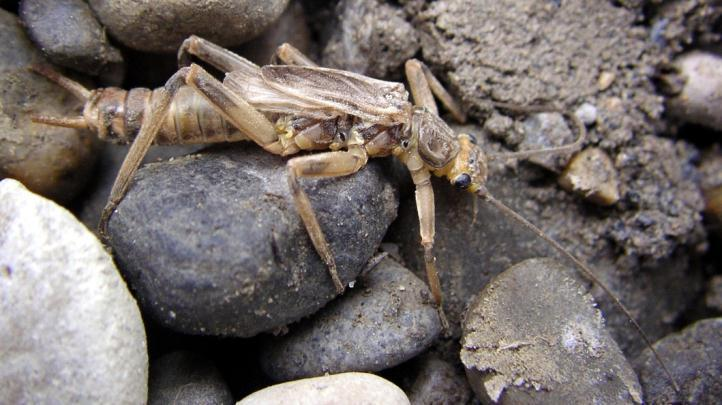 Stonefly Nymph Widely distributed Up to 65 mm in size Wetland types they live in: