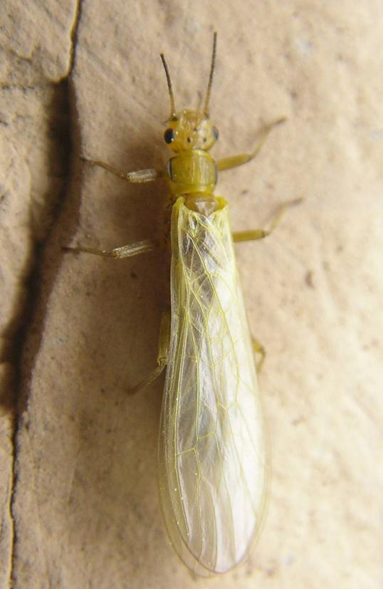 Green Stoneflies Close to water in spring time Up to 6-15 mm in