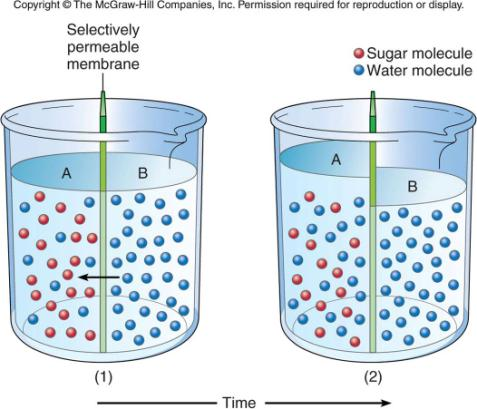Osmosis is the (diffusion) passive transport of water What happens to the volume of liquid