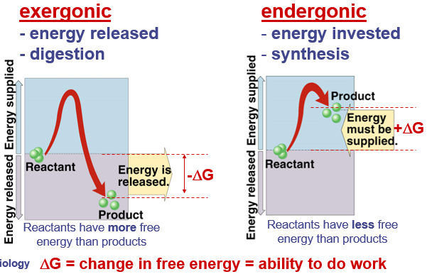 5. Compare and contrast endergonic (endothermic) and exergonic (exothermic) reactions.