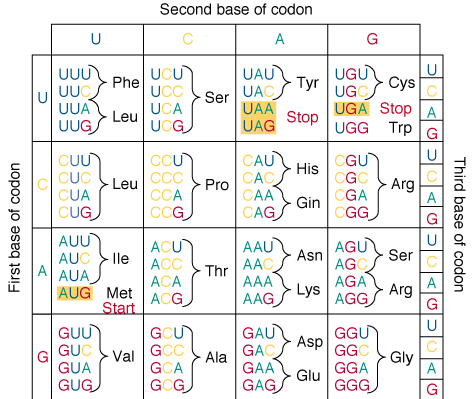 Redundancy of Genetic Code 1 start codon (AUG