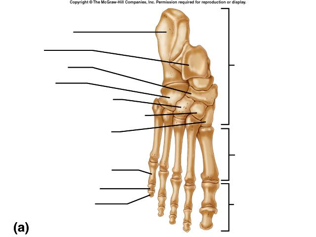 BONE STUDY REVIEW NAME AXIAL OR APPENDICULAR CLASSIFICATION BY SHAPE NUMBER IN