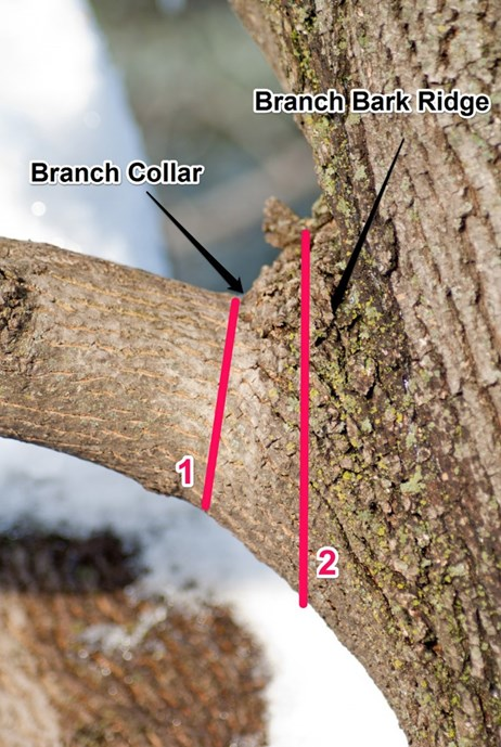 WHAT TO DO IN FEBRUARY Prune! Sharpen your saws and get outside! Study the architecture of your trees and cut out branches that are crossing as well as any that are diseased or dead.