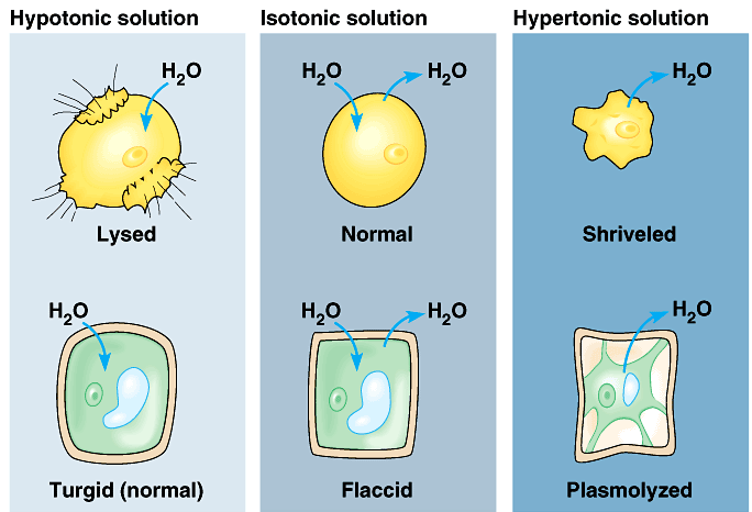 Effect of Osmosis on Cells If a cell is in an isotonic environment, it stays the same If a cell is in a hypertonic environment, water