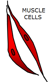 The muscle cell has a structure that allows it to relax or contract as needed.