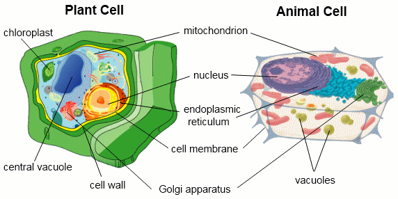 Different kinds of cells can have different organelles. A plant cell and an animal cell are shown below.