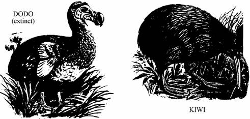 ## Many islands in the Indian and Pacific oceans have or used to have large flightless birds like the dodo on Mauritius and the kiwi on New Zealand.