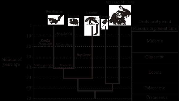 Q4. The diagram shows an evolutionary tree for a group of animals called primates. The names of extinct animals are printed in italics e.g. Nycticeboides.